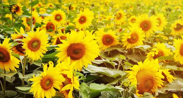 Un campo infinito con girasoles florecientes de color amarillo brillante. luz del atardecer.