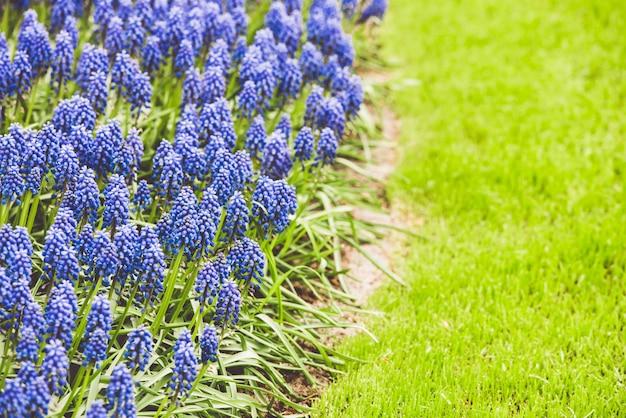 Campo de jacinto azul muscari en los países bajos