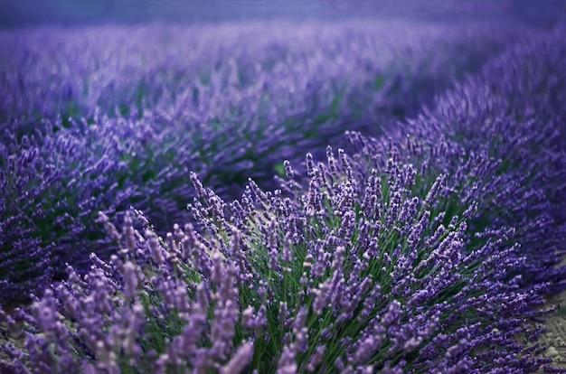 Campo lila de la lavanda, paisaje del verano cerca de valensole en provence, francia. naturaleza con copia espacio.