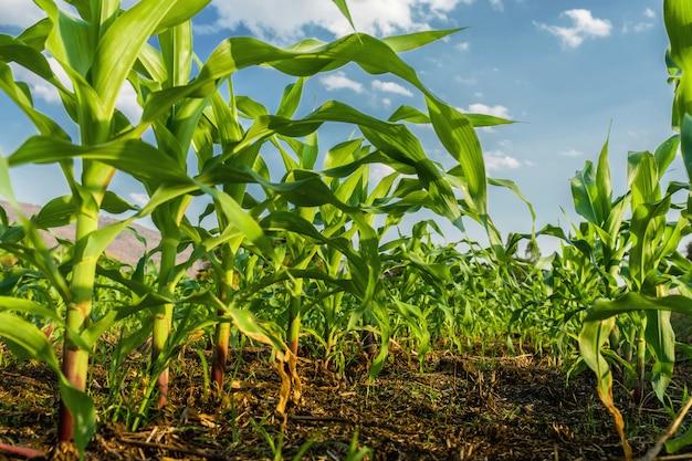 Campo de maíz y fondo de cielo azul