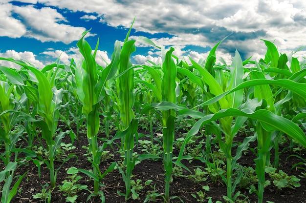 Campo de maíz. foto de campo de maíz contra el cielo nublado azul.