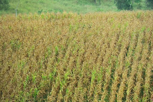 Campo de maíz con gran fondo de montaña. la agricultura y el concepto de la planta.