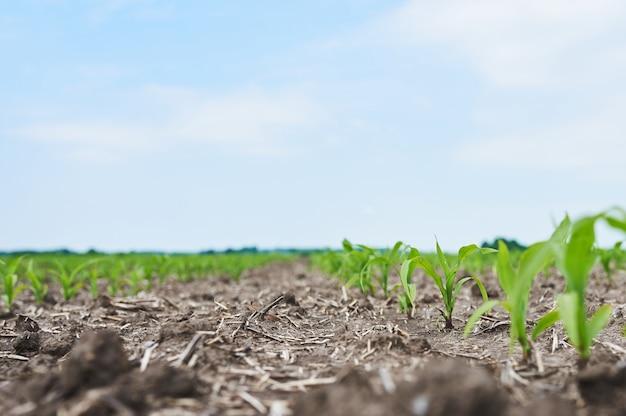 Campo de maíz: plantas jóvenes de maíz que crecen al sol.