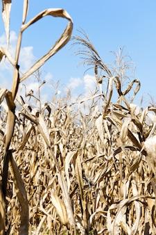 Campo de maíz sequía