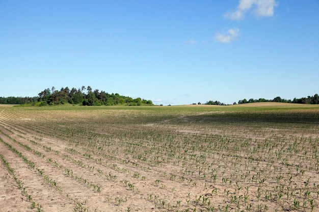 Campo de maíz, verano - campo agrícola con maíz verde inmaduro, cielo azul