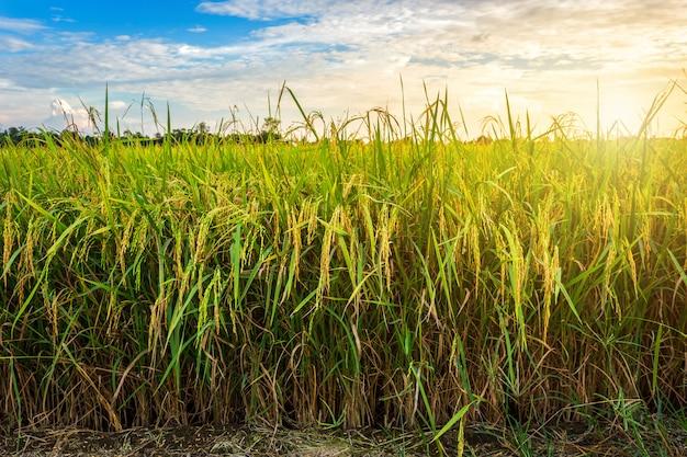 Campo de maíz verde hermoso con el cielo de la puesta del sol.