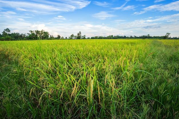Campo de maíz verde hermoso con el fondo mullido del cielo de las nubes.