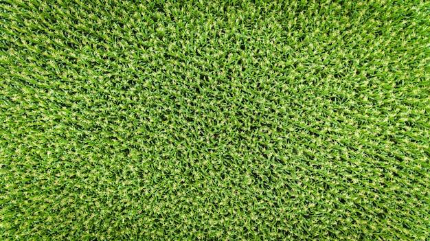Campo de maíz vista aérea, cultivos de maíz cultivado.