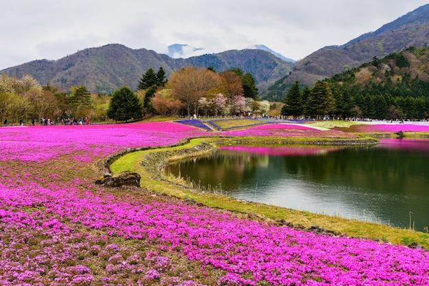 Campo de musgo rosado en yamanashi, japón. festival de fuji shibazakura
