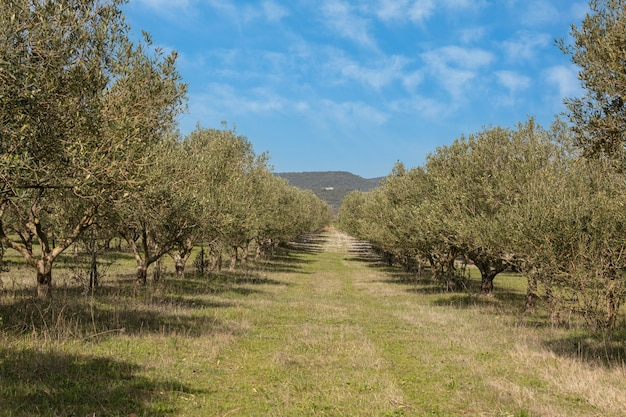Campo de olivos con un hermoso cielo en el sur de francia.