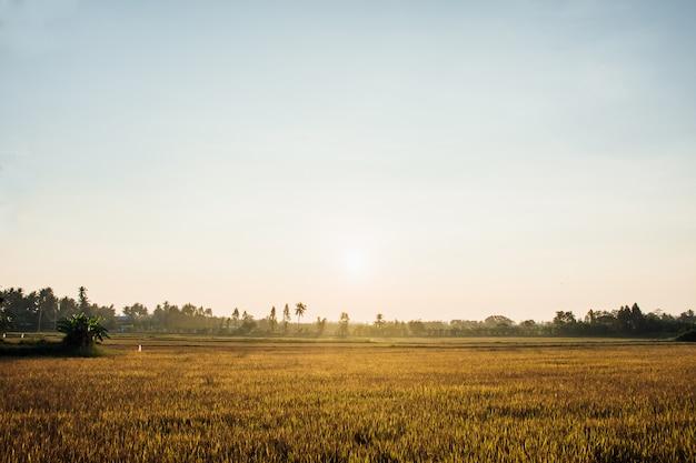 Campo de oro del arroz en la luz de la mañana, en tailandia.