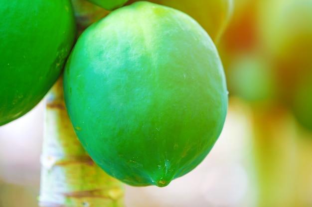 Campo de papaya