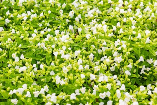 Campo del pequeño fondo de la naturaleza de las flores blancas.
