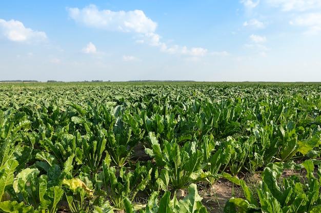 Campo con remolacha azucarera - campo agrícola en el que crecen remolachas para la producción de azúcar, remolacha azucarera