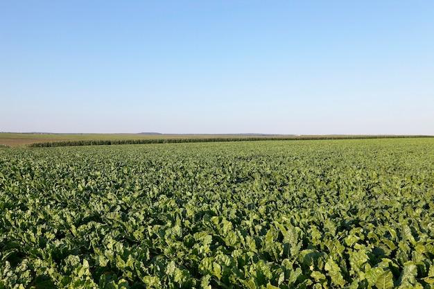 Campo con remolacha - campo agrícola en el que crecen brotes verdes de remolacha