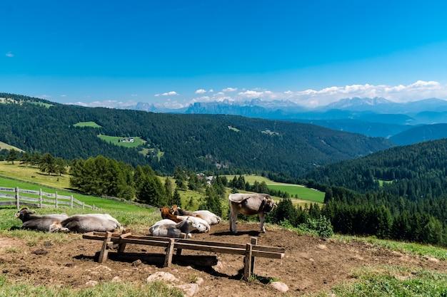 Campo rodeado de terneros y montañas cubiertas de bosques bajo la luz del sol durante el día