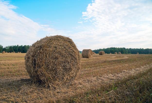 Campo segado y paja en rollos, mienten uno después de la cosecha.