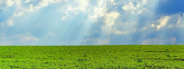 Un campo de soja joven contra un cielo tormentoso con rayos del sol