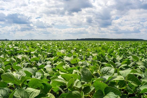 Campo de soja verde en el periodo de floración. limpio de enfermedades y plagas, sano.