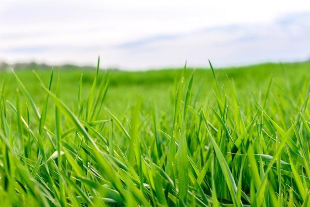 Campo de textura de hierba verde fresca como fondo, vista superior, horizontal
