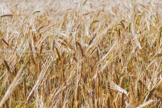 Campo de trigo amarillo. paisaje de campo