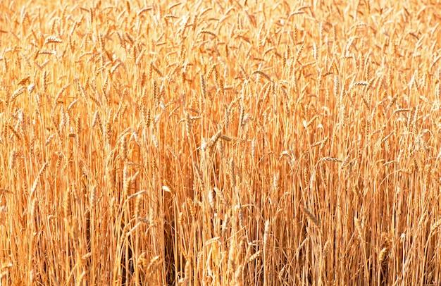 Campo de trigo. cerca de espigas de trigo dorado. hermoso paisaje al atardecer de la naturaleza.