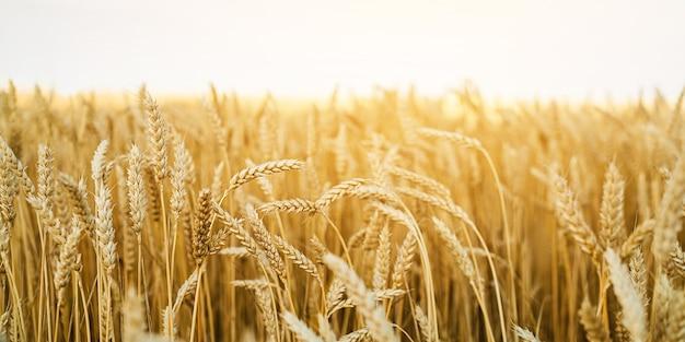 Campo de trigo. cerca de espigas de trigo dorado. hermoso paisaje de la naturaleza. paisaje rural bajo un cielo blanco. fondo de maduración de espigas de campo de trigo. concepto de cosecha rica.