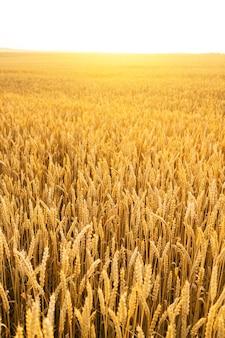 Campo de trigo. cerca de espigas de trigo dorado. paisaje hermoso de la puesta del sol de la naturaleza. paisaje rural bajo la brillante luz del sol. fondo de maduración de espigas de campo de trigo. concepto de cosecha rica.