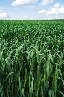 Campo de trigo. cerca de espigas de trigo verde joven. paisaje rural con cielo azul. fondo de maduración de espigas de campo de trigo. concepto de cosecha rica.