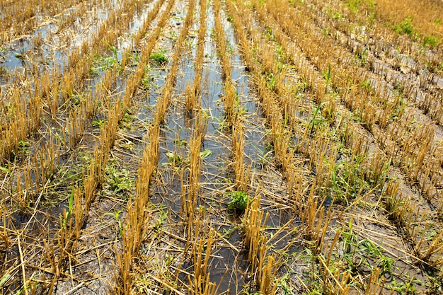 Campo de trigo después de la cosecha por cosechadora. trigo recortado. temporada de cosecha de trigo