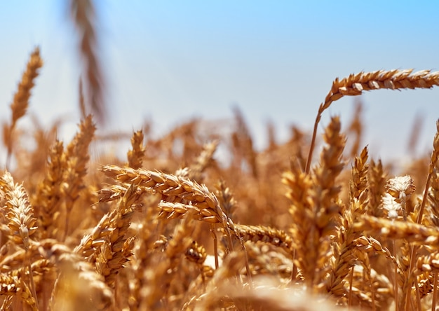 Campo de trigo en día soleado.