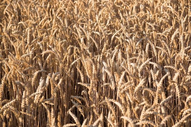 Campo de trigo dorado con cielo azul como fondo