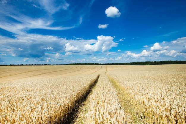 Campo de trigo dorado y día soleado