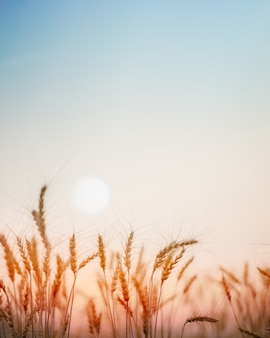 Campo de trigo dorado con fondo puesta de sol.