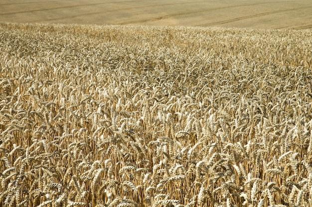 Campo de trigo dorado y paisaje de día soleado