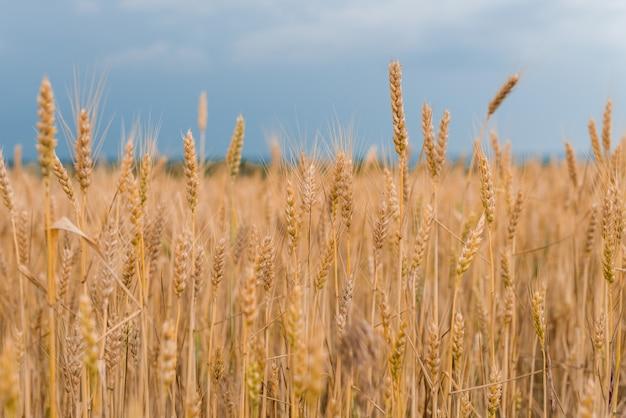 Campo de trigo . espiguillas de oro de trigo closeup. concepto de cosecha