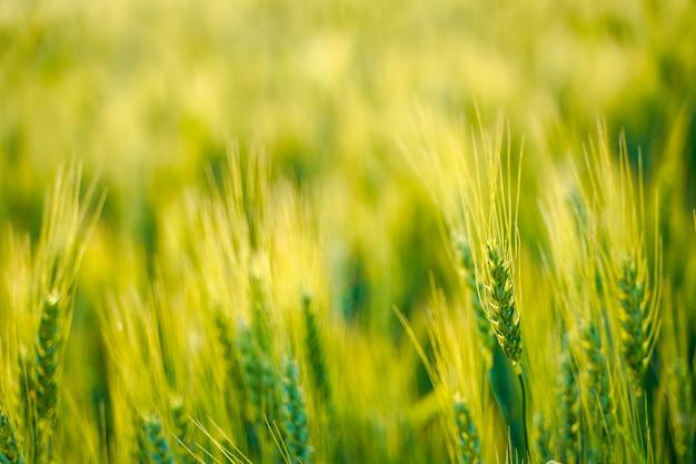 Campo de trigo en india