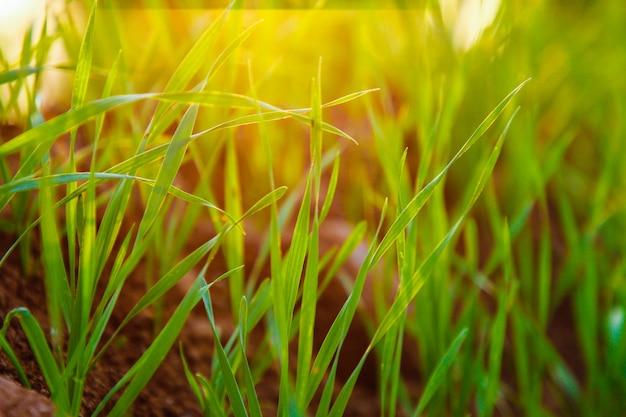 Campo de trigo indio