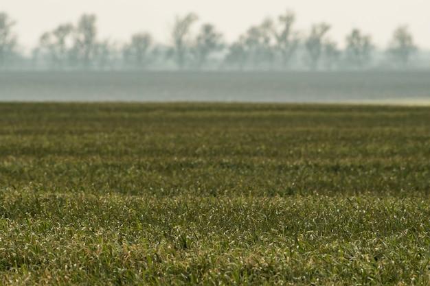 Campo con trigo joven y niebla sobre el campo