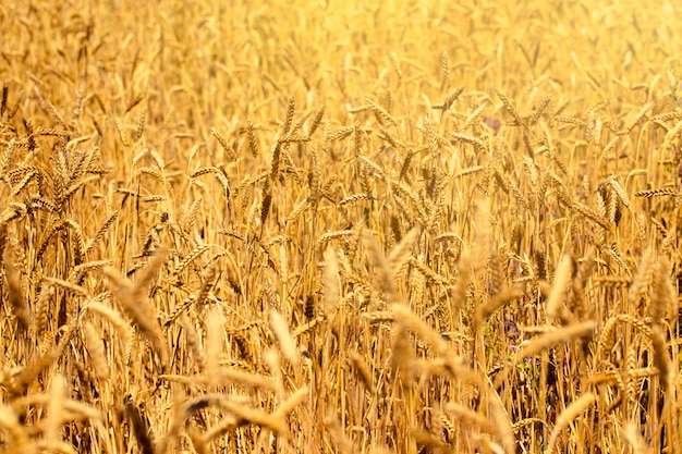 Campo de trigo en verano al lado de un cielo azul con las nubes en un día soleado. hermosa naturaleza