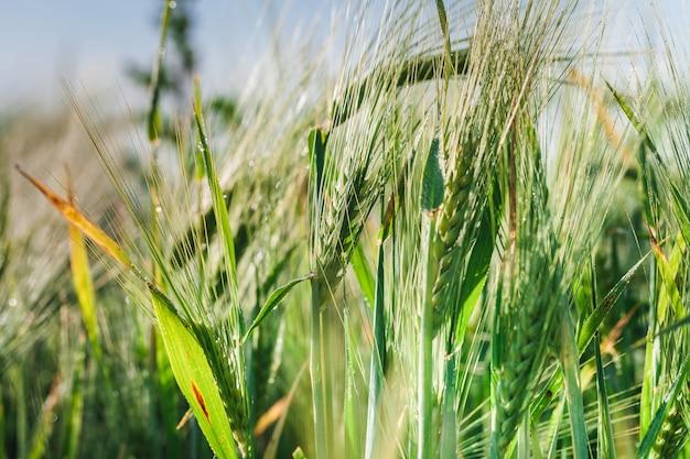 Campo de trigo verde con cielo azul