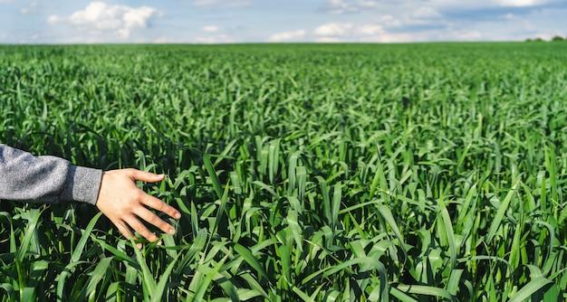 Campo de trigo verde joven. primer plano de la mano femenina mano tocando espigas de trigo. concepto de cosecha rica. granjero o agrónomo revisa el cultivo.