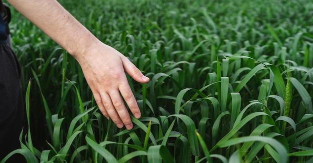 Campo de trigo verde joven. primer plano de la mano del hombre tocando espigas de trigo. concepto de cosecha rica. granjero o agrónomo revisa el cultivo.