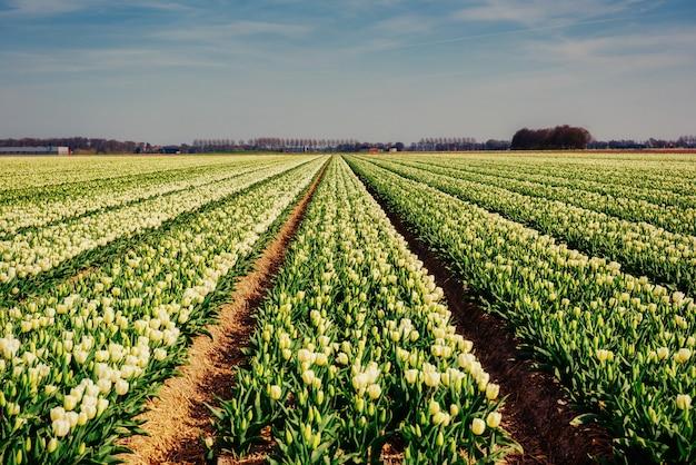 Campo de tulipanes amarillos al atardecer.