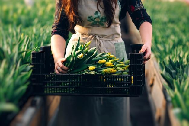 Campo de tulipanes blancos rojos con bulbos en caja de madera en manos humanas