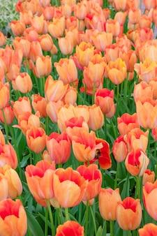 El campo de tulipanes en holanda u holanda