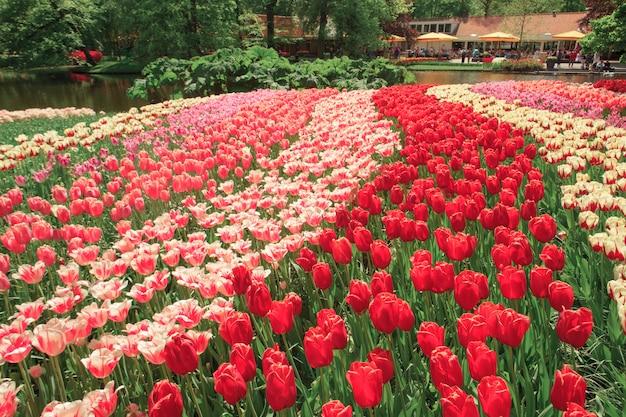 El campo de tulipanes en holanda