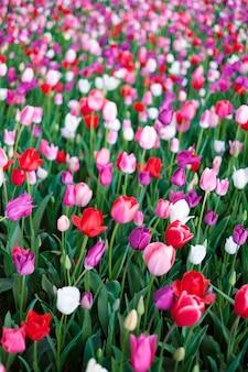 Campo de tulipanes en japon