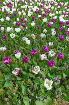 Campo de tulipanes en el jardín de flores de keukenhof, lisse, holanda, holanda
