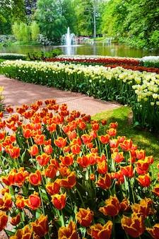 Campo de tulipanes en los jardines de keukenhof, lisse, holanda